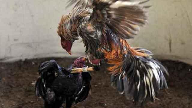 Agen Judi Ayam Laga Online Pukul Mati