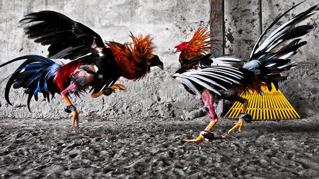 Agen Judi Ayam Online Uang Asli