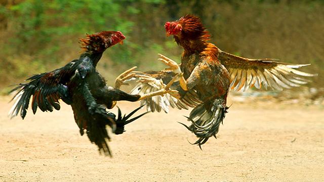 Daftar Akun S128 Judi Sabung Ayam Jago