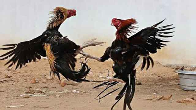 Judi Sabung Ayam Online Free