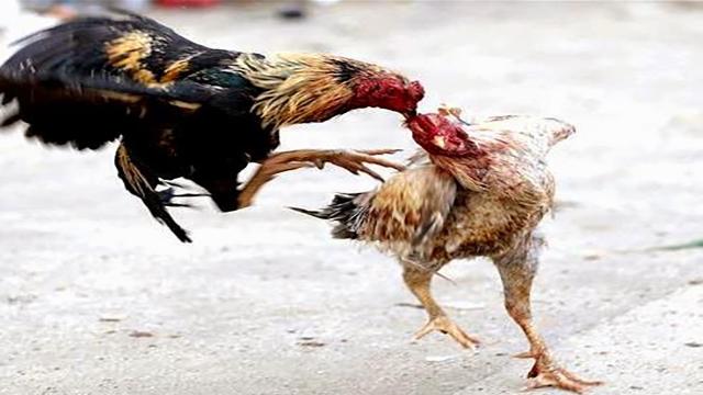 Agen Judi Sabung Ayam S128