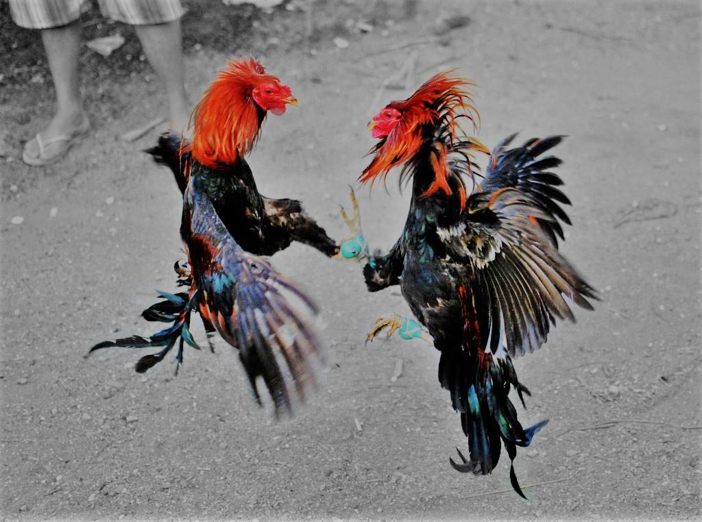 Sabung Ayam Sampai Mati